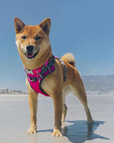 Postroj Red Dingo pes